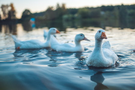 domestic: A flock of white Domestic Geese swimming in lake in evening. Domesticated grey goose are poultry used for meat, eggs, down feathers (Anser anser domesticus) Stock Photo