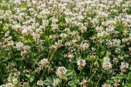 trillium: white clover wild meadow flowers in field. Nature vintage summer autumn outdoor photo. Selective focus macro shot with shallow DOF. Stock Photo