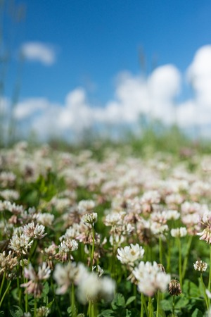 white clover wild meadow flowers in field over deep blue sky. Nature vintage summer autumn outdoor photo. Selective focus macro shot with shallow DOF. Stock Photo
