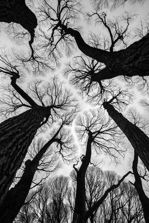 Spring forest floating in the sky .Top of the trees, high trunks, crowns. Black and white photo art work.