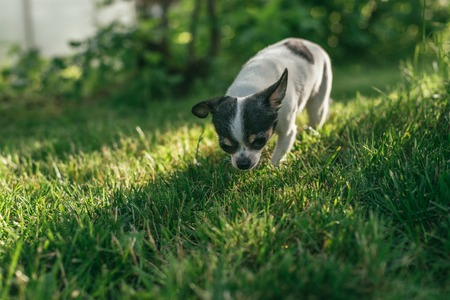 the little dog Chihuahua playing outside on the grass spring lawn. Selective focus bokeh background Stock Photo