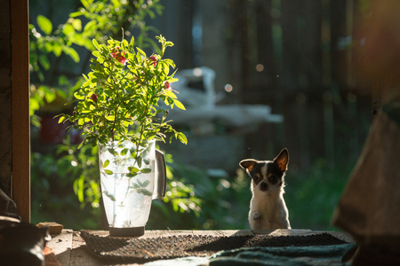 A small and funny chihuahua dog looks out of the door. On the left are flowers in a transparent plastic jug The frame is illuminated by the bright sunset sun