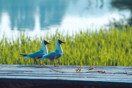 two sea gulls sit on top of wooden board over spring green grass background with lake water landscape