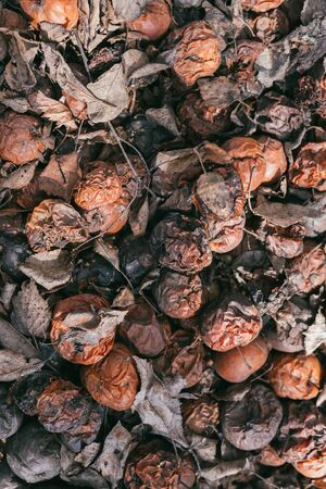 Pile of rotten apples with dry leaves after winter. View from above. Selective focus macro shot with shallow DOF Banco de Imagens