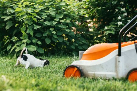 the little dog Chihuahua playing outside on the grass spring backyard near lawn mower . Selective focus bokeh background