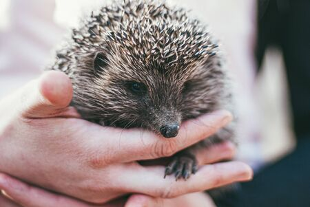 Girl holding a cute forest hedgehog in her hands. He put his little furry paw between the fingers of the human hand.