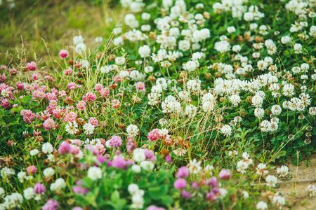 white and pink Flowering clover Trifolium pratense. selective focus macro shot with shallow DOF. 写真素材 - 138838376