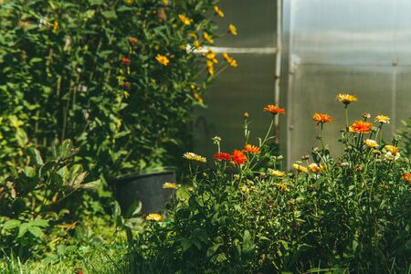 bright red medicinal marigold flowers on the background of a green garden and a plexiglass greenhouse.