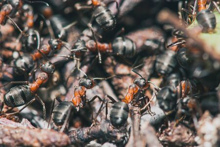 forest ants team carry out their work in an anthill. A perfect example of teamwork. Selective focus macro shot with shallow DOF Stock Photo