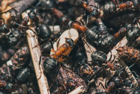 forest ants team carry out their work in an anthill. A perfect example of teamwork. Ants drag an egg. Selective focus macro shot with shallow DOF. 스톡 콘텐츠