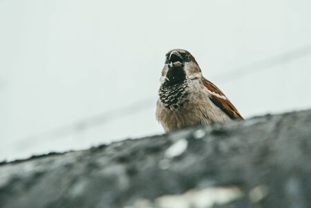 a small but formidable Sparrow sits on a concrete curb and opens its beak. Selective focus macro shot with shallow DOF