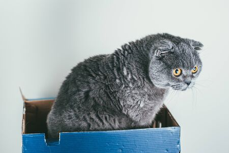 Grey Scottish fold cat sitting in blue shoe box. Cats are usually very curious and climb into boxes Banco de Imagens