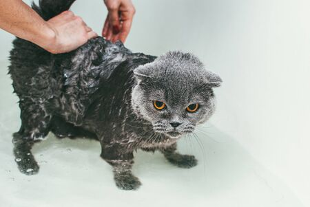 Grey Scottish fold cat takes a bath with his owner. She takes care of him and thoroughly washes his fur
