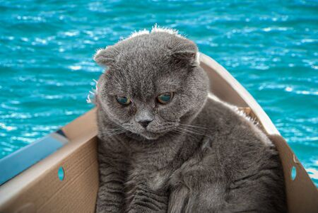 Grey Scottish fold cat sitting in boat made from shoe cardboard and sets sail on his first journey. Cats are usually very curious and climb into boxes. Banco de Imagens