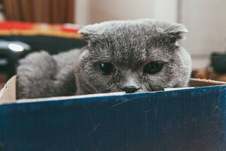 Grey Scottish fold cat sitting in blue shoe box. Cats are usually very curious and climb into boxes Stock Photo