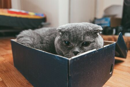 Grey Scottish fold cat sitting in shoe box. Cats are usually very curious andthey like to get into interesting places. Selective focus macro shot with shallow DOF