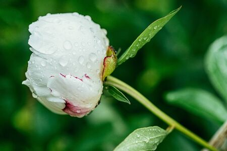 White not fully bloomed peon covered with morning dew on a background of green foliage. Selective focus macro shot with shallow DOF side view.