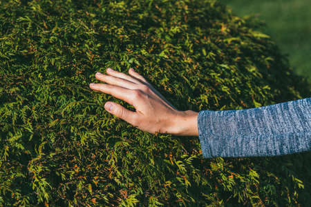 the hand of a young woman is touching a lush thuja bush. Reunion with nature and care for the garden concept Zdjęcie Seryjne