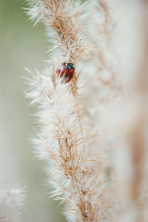 Red spotted ladybug on a branch of fluffy dry grass. Selective focus macro shot with shallow DOF Zdjęcie Seryjne