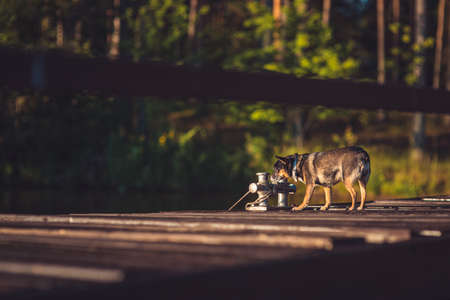 young English toy terrier on a sunny wooden pier near the lake against the background of a summer green forest