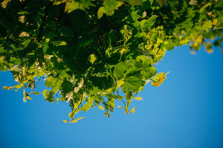 fresh green linden leaves on a blue sky background. Selective focus macro shot with shallow DOF Banque d'images