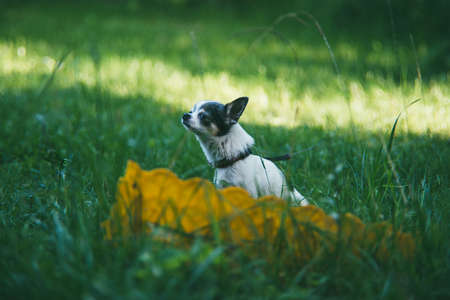 A small funny Chihuahua dog sitting on the green grass yard and sniffing the air against a blurred summer garden. Stay at home coronavirus covid-19 quarantine concept. Garden summer day