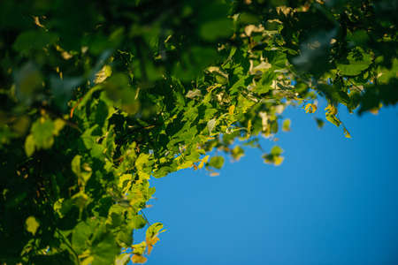 fresh green linden leaves on a blue sky background. Selective focus macro shot with shallow DOF with copyspace Banque d'images