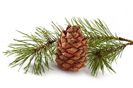 siberian pine: Siberian pine cone with branch Stock Photo