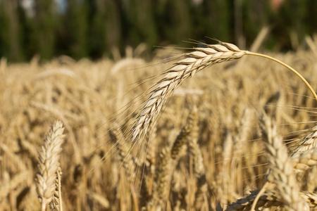 ears of wheat on shiny field photo