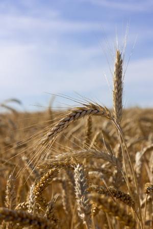 ears of wheat on shiny field