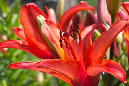 Close up red Lily in the garden at geen background Stock Photo - 15830321