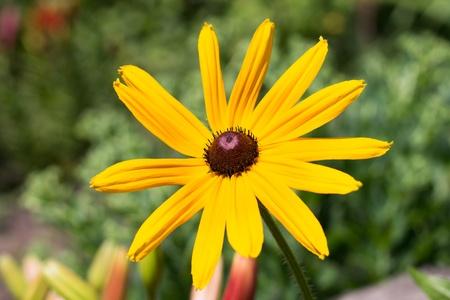 Yellow Echinacea daisy flower on green blured background Stock Photo