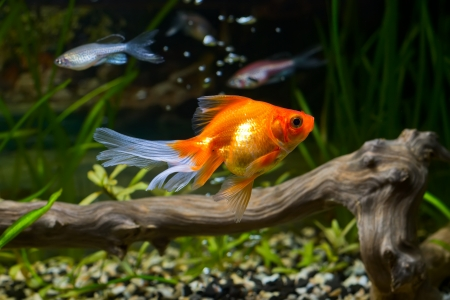 Goldfish in aquarium with green plants, snag and stones photo