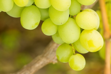 Close up photo of Ripe White table grapes on vine photo