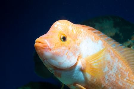 Big Aquarium fish in water