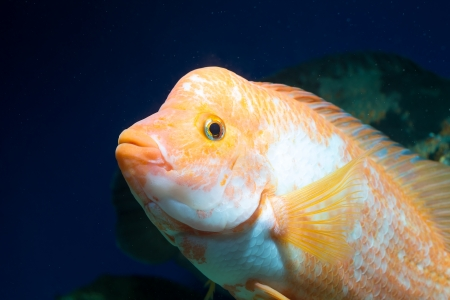 peacock cichlid: Big Aquarium fish in water