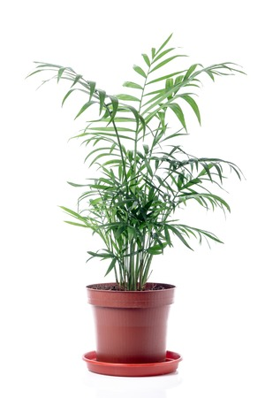Geïsoleerd Palm in pot op witte achtergrond. Chamaedorea Elegance