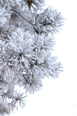 hoar: Winter holiday background.  Christmas tree in hoar. Frosted pine branches isolated on white background