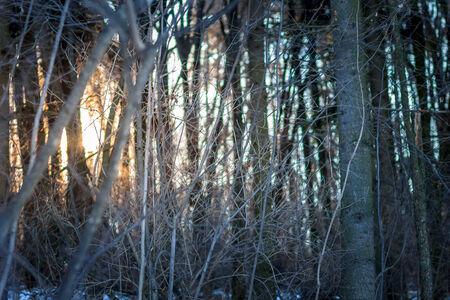 Sundown in winter forest