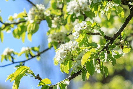 Pear-tree in spring season. Blossoming pear background