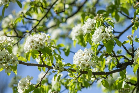 Blooming of pear tree in spring season. Nature background Stock Photo