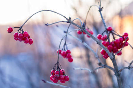 guelder rose berry: Frozen viburnum at winter sunny day. Healthy wild berry background