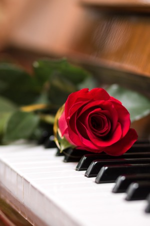 keyboard instrument: Red beautiful rose on piano keyboard. Music background
