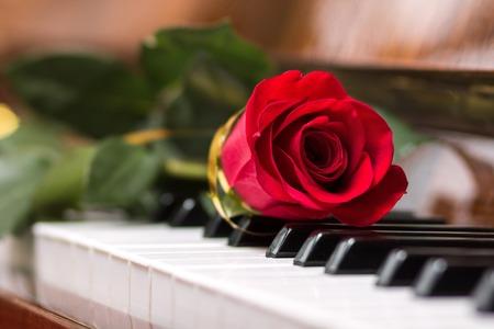 piano closeup: Red beautiful rose on piano keyboard. Music background