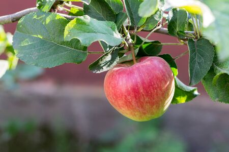 Red ripe fruit of apple on the branch with green leaves Stock Photo