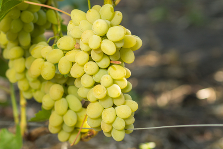 uva blanca: Huge cluster of white grape on grapevine with copy space aside