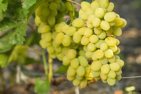 white grape: Clusters of ripe white table grape on vineyard. Autumn harvesting agricultural background