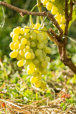 viticultura: Cluster of white table grape on vine. Viticulture background