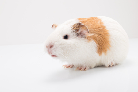 tame: Tame curios pet isolated on white background. Cute white and brown guinea pig