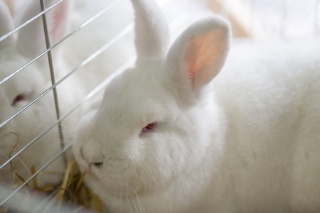 rabbit in cage: Big fluffy white rabbit in the cage. Breeding rabbits background